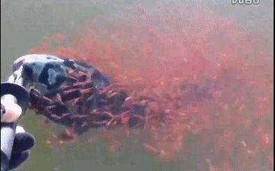 一条母多曼鱼不幸被渔夫钓中,而钓离水面的时候,母鱼身边围绕起上千只红色小鱼,不断张嘴想要把妈妈往水里拉…… 后面,渔夫也被感动到把鱼放回了海里… 太有爱了!