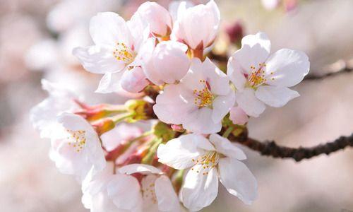 Japanese Flowering Cherries Flowering Cherries Blooming Season Flowering Cherries Sakura Fragrant C Flowering Cherry Tree Blossom Japanese Flowering Cherry