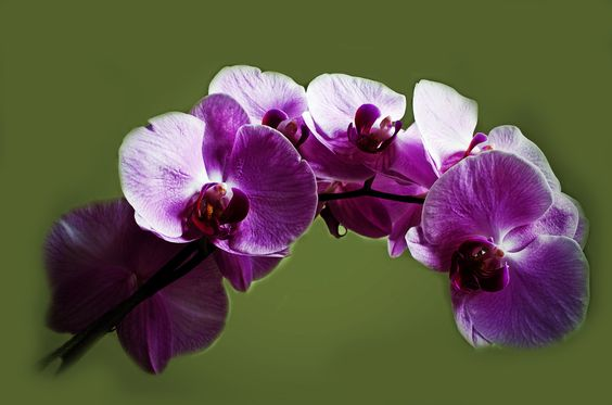 Purple Orchid-Royalty free stock photos. All pictures are free for commercial and personal use. http://www.publicdomainpictures.net