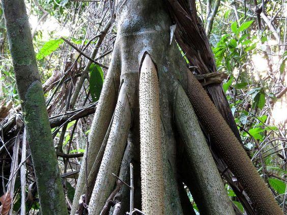 socratea-exorrhiza-walking-palms-4
