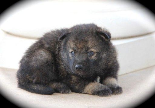Pomsky Puppy For Sale In Krum Tx Adn 58490 On Puppyfinder Com Gender Male Age 7 Weeks Old Pomsky Puppies Pomsky Puppies For Sale Puppies