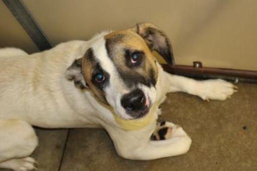 Cleveland Al Anatolian Shepherd Meet Chucho A Dog For Adoption