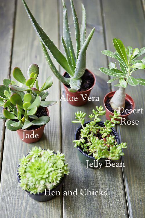Succulent garden starting plants.