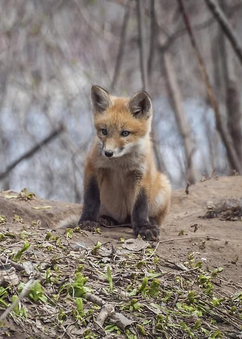 Red Fox - photo by Thomas Young
