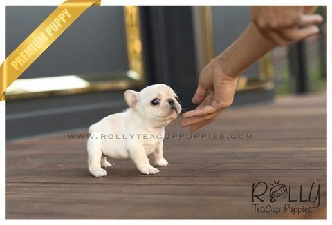 French Bulldog Rolly Teacup Puppies Teacupbulldog Teacup