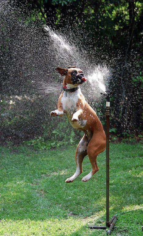 Boxer jugando con el agua