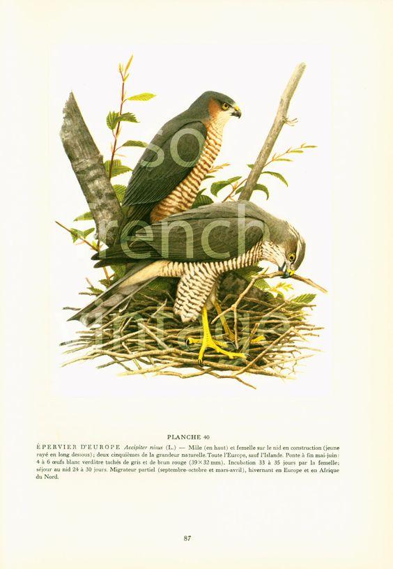 1961 Epervier d'Europe Accipiter nisus Fauconnerie illustration oiseau de proie Rapace ornithologie Decor mural Nature de la boutique sofrenchvintage sur Etsy