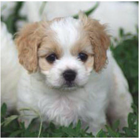 Cute, cute, puppy, puppy, puppy. Cutest. Puppy. Ever.: Cutest Puppy, Puppy Dogs, Cavalier Puppies, Cute Puppies, Luv Dogs, Puppies Photos, Cavachon Dogs, Cavachon Puppies