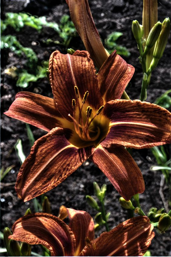 A Lily that has been processed through HDR imagery