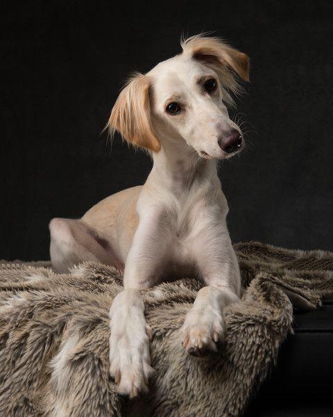 Hounds Madaboutgreys Photography Dog Photography Studio Dog Portrait Photography Pet Portraits Photography