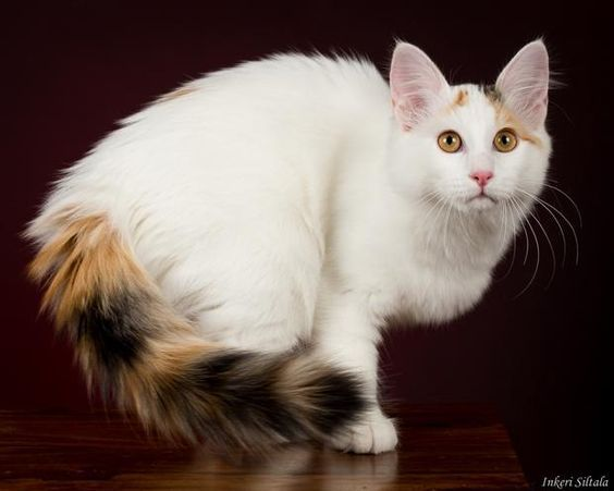 Pin By Elizabeth On Animals Turkish Van Cats Angora Cats Siamese Cats Facts