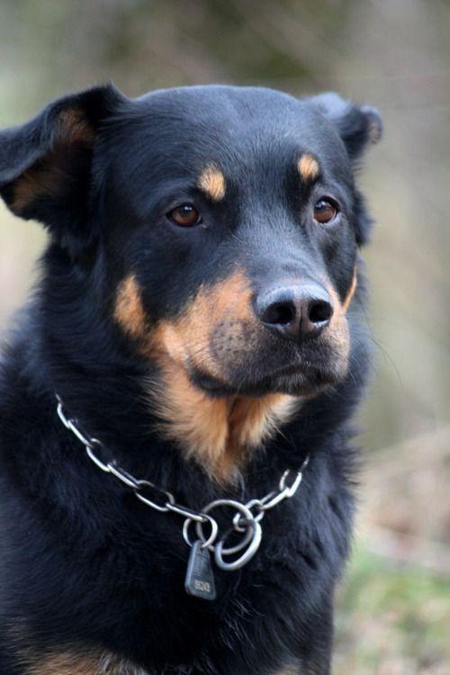 My Dog Floyd Rottweiler X Akita Inu Dogs Rottweiler Hybrid Dogs
