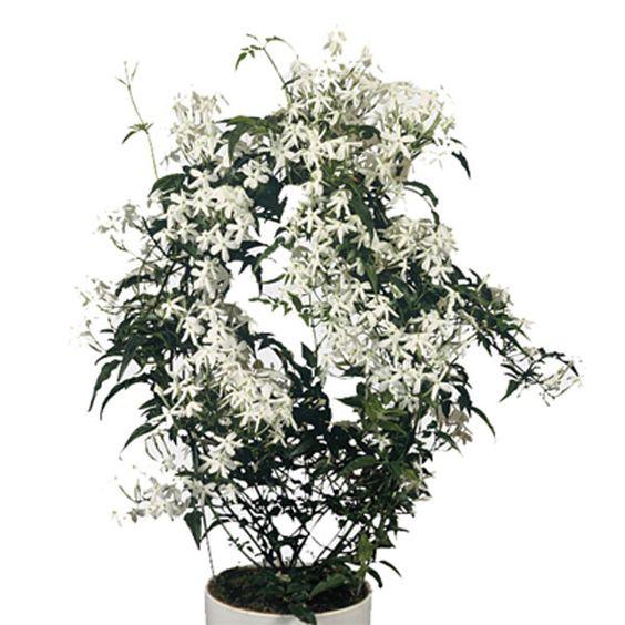 Jasmine Indoors (Jasminum polyanthum)   Pick Ontario