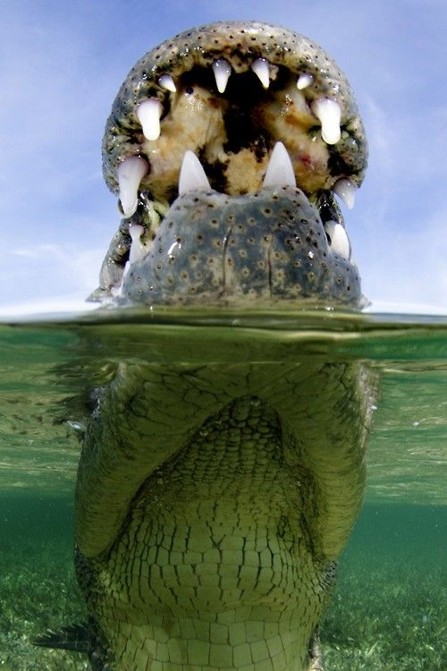 Banco Chinchorro crocodile by Andy Murch