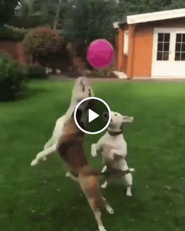 Duplas de cachorros disputam uma bola