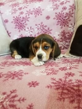 Beagle Puppies For Sale Beagle Puppy Puppies Beagle