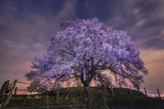 Photograph cherry blossoms by Yuichiro Furuta on 500px