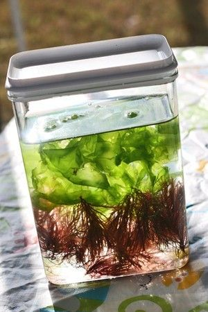 Grow your own sea veggies!