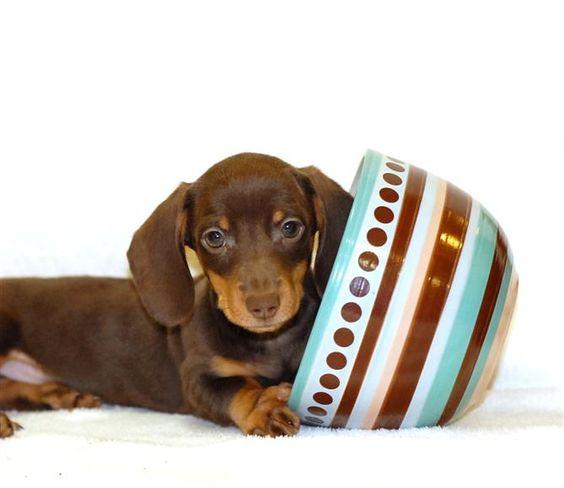 Tiniest Tea Cup Dachshund Puppy Teacup KISS our TINY