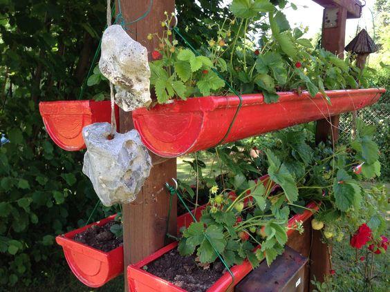 Rain gutter for growing strawberries