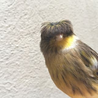 The Gloster Canary | The 15 Goofiest Animals Who Make The World A Happier Place