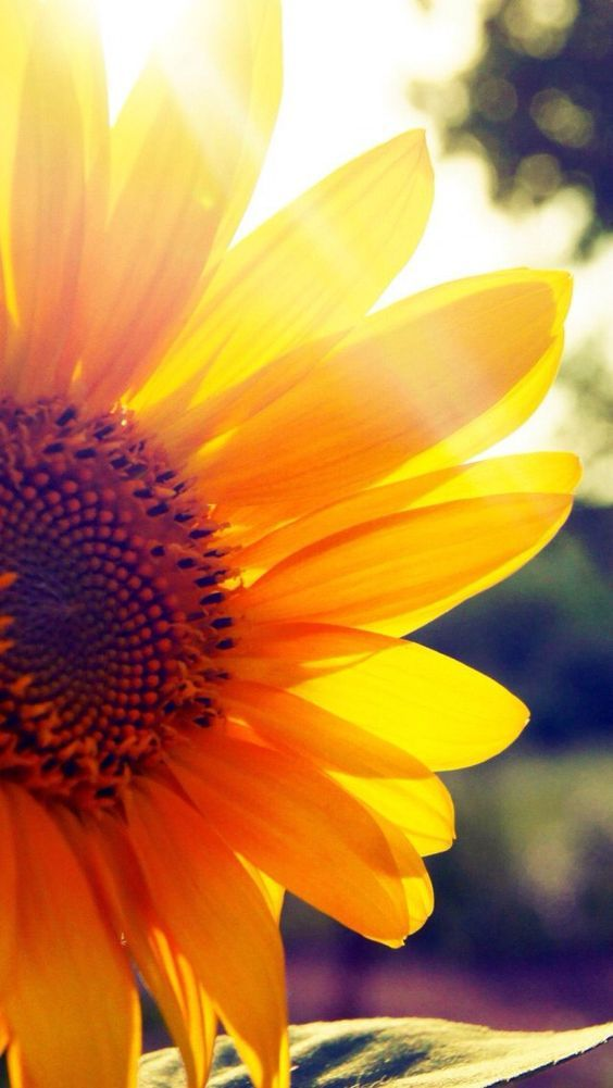 Good Morning May Your Life Overflow With Love Joy And Peace Today Webgranth Keep Sharing G Sunflower Wallpaper Sunflower Pictures Sunflowers Background
