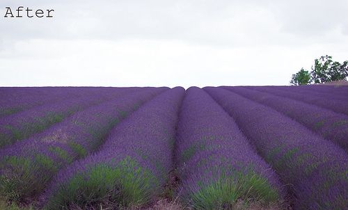 This field of lavender in the Cotswolds makes me long to be there! When I have a garden, it will have plenty of lavender.