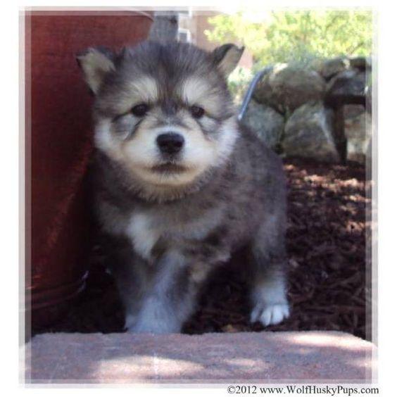 Timberwolf Malamute Mix Giant wolamute~ giant malamute timber wolf mix