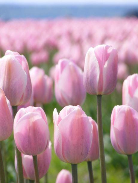 Tiptoe  8x10 Floral Photograph  Pink Tulip Field  by FlandersField, $25.00