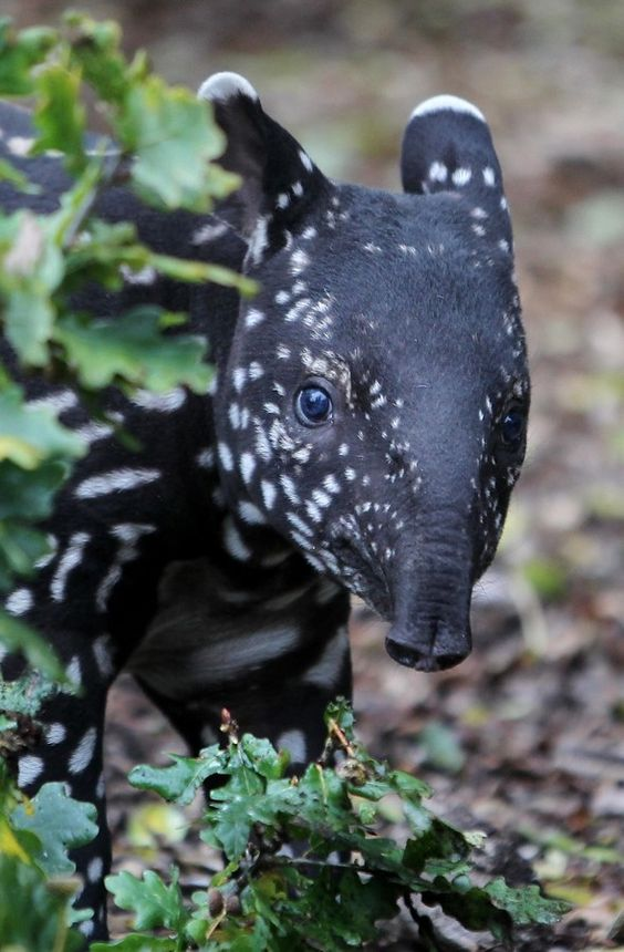 **Adorable baby tapir makes first outing | Port Lympne Wild Animal Park