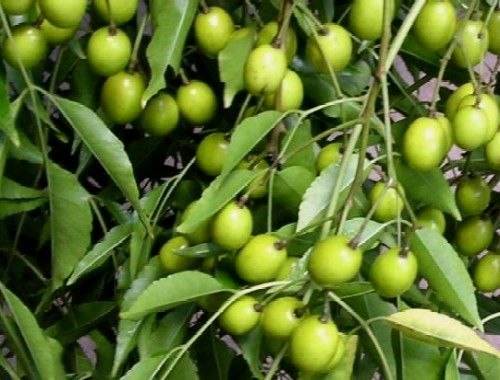 Image result for neem tree fruit