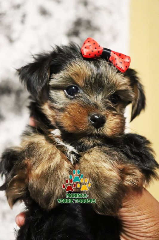 Available Micro Teacup Yorkies Toy Yorkie Puppies Yorkie Terrier
