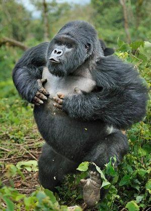 Silverback Gorilla charging