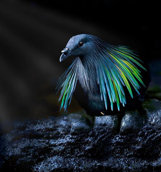 Meet The Closest Living Relative To The Extinct Dodo Bird With Incredibly Colorful Iridescent Feathers | Bored Panda | Bloglovin'