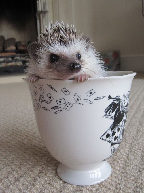 Hedgehog in a tea cup
