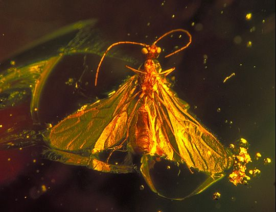 The social insects - bees, wasps, ants, termites - are frequently found trapped in amber resins, often in large groups or clusters. Although this specimen in Dominican amber closely resembles a winged ant at first look, it is in fact a very small parasitic wasp (probably Family Braconidae). The long, threadlike antennae and the lack of an obvious costal cell on the front wing margin are among characteristic features that quickly distinguish braconid wasps from winged ants.