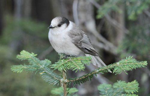Canada Jay Feederwatch What Is A Bird Wild Birds Unlimited Canada