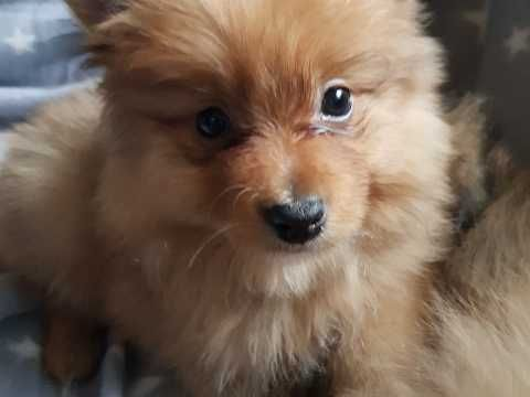 Beautiful Pomeranian Puppies Ready Now Pomeranian Puppy Puppies