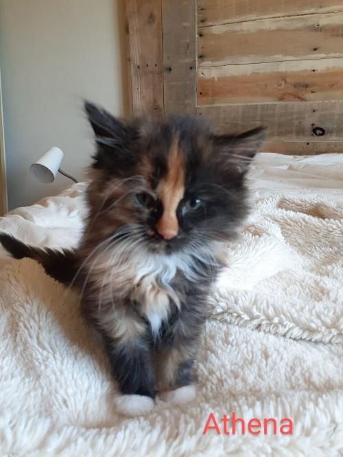 Thank You For Helping This Cat Find A New Home Calico Domestic Medium Hair Mixed Medium Coat In Albertville Mn In 2020 Pet Adoption Pets Dog Adoption