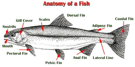 Simplify hugely and use with a coloured picture to show for List of fish with fins and scales