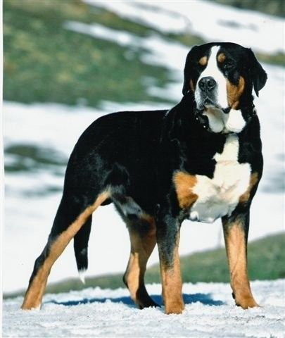 Greater Swiss Mountain Dog.