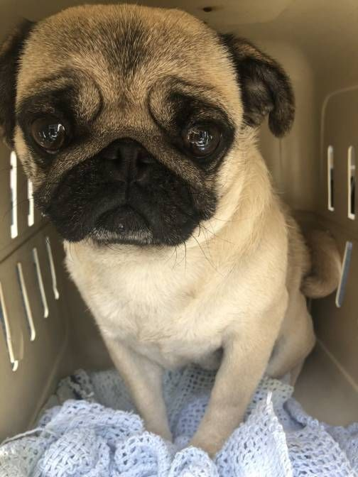 French Bulldogs Rescued From Vancouver Island Breeder Recovering In Foster Care Bc Spca Pug Puppies Pugs For Adoption French Bulldog Rescue