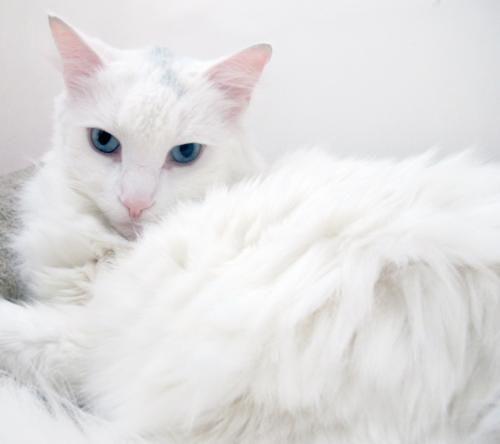 Adopt Sasha The Turkish Angora Mix On Petfinder Cat Adoption Cats Animal Action