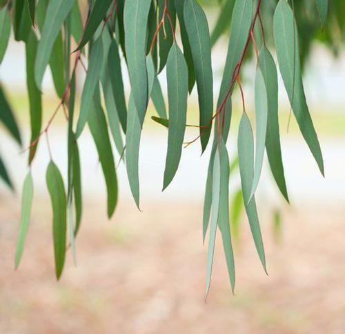 Pin On Doterra Eucalyptus