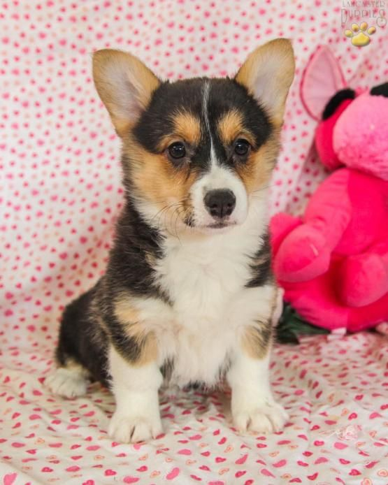 Tiana Welsh Corgi Pembroke Puppy For Sale In Mifflintown Pa