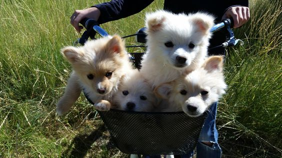 Pomsky puppies for sale! Our most recent litter from High Mesa Huskies are ready to go to their new homes