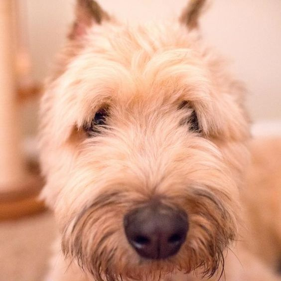 Meet Kevin In In A Petfinder Adoptable Bouvier Des Flanders Dog Lexington Ky Fostered In Indiana Kevin Is An Incred Bouviers Des Flandres Dogs My Animal