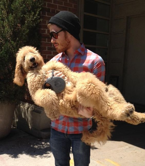 Meet Molly, The Cutest Golden Doodle Puppy Ever real men r kind 2 animals