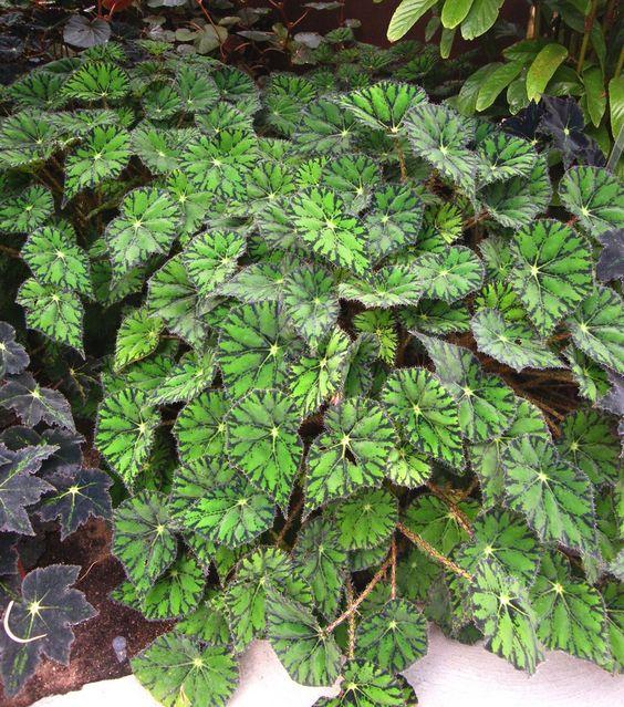 Begonia 'Tiger Star':