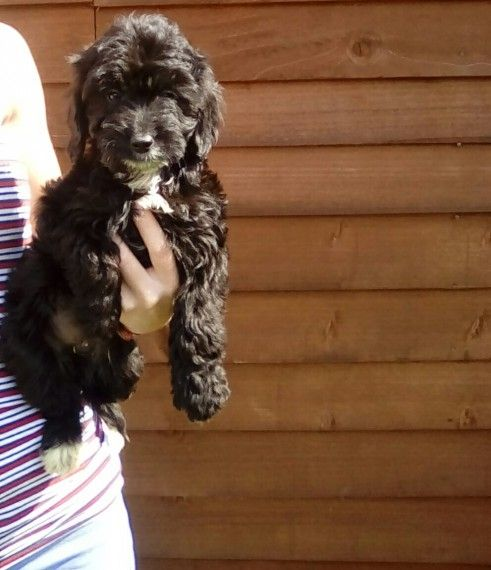 5 Beautiful Cockapoo Puppies For Sale Cockapoo Puppies Cockapoo